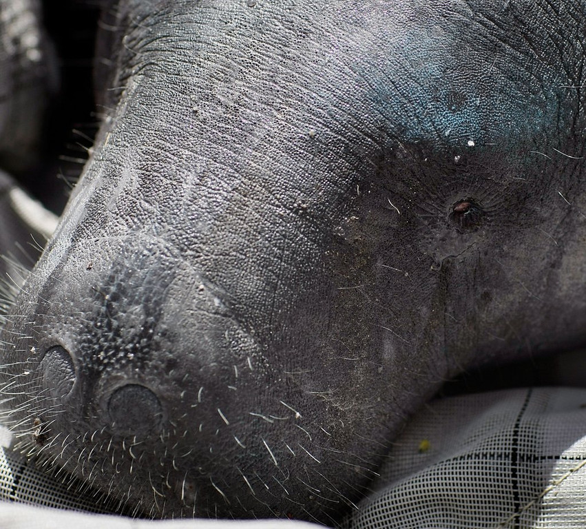 . <p>23. MANATEES <p>For centuries, they�ve been mistaken for mermaids by people with really poor eyesight.   (Joe Raedle/Getty Images)