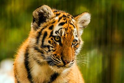 Amur Tiger - Amurintiikeri