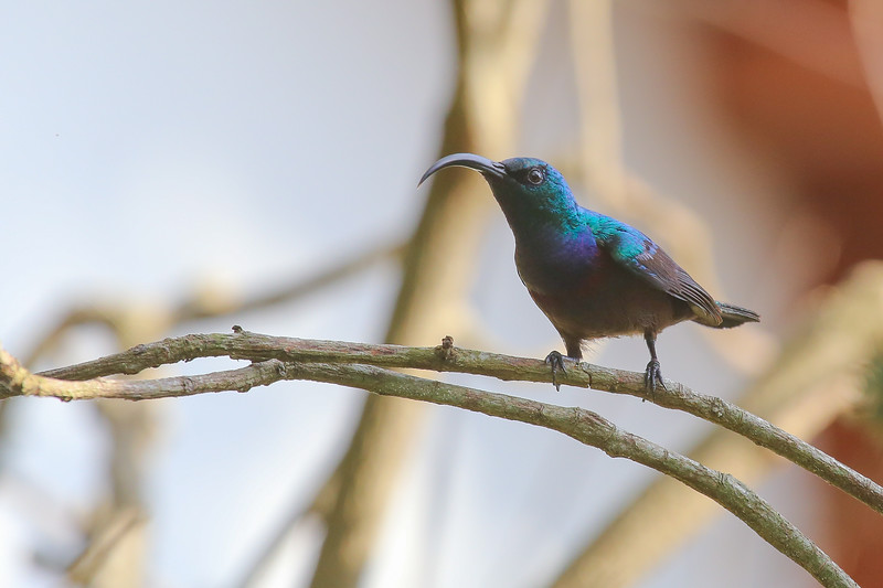 Loten's Sunbird (Cinnyris lotenius)