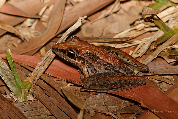 Striped Rocket Frog