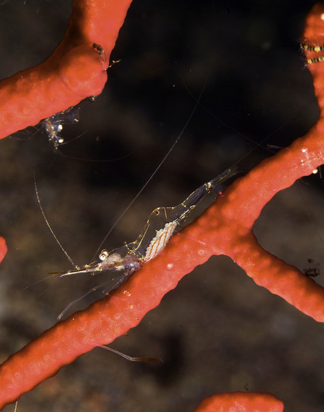 shrimp transparent (9).jpg