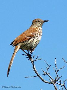 Mockingbirds, Thrashers