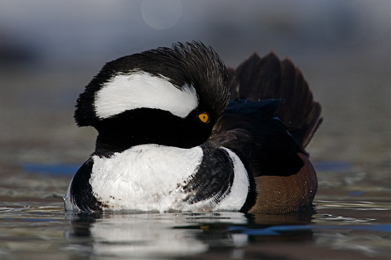 A gorgeous Hooded Merganser drake rests during the afternoon along the Methow River in northcentral Washington.
