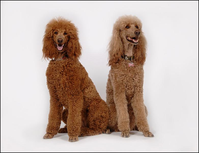 2 standard poodles on white backround