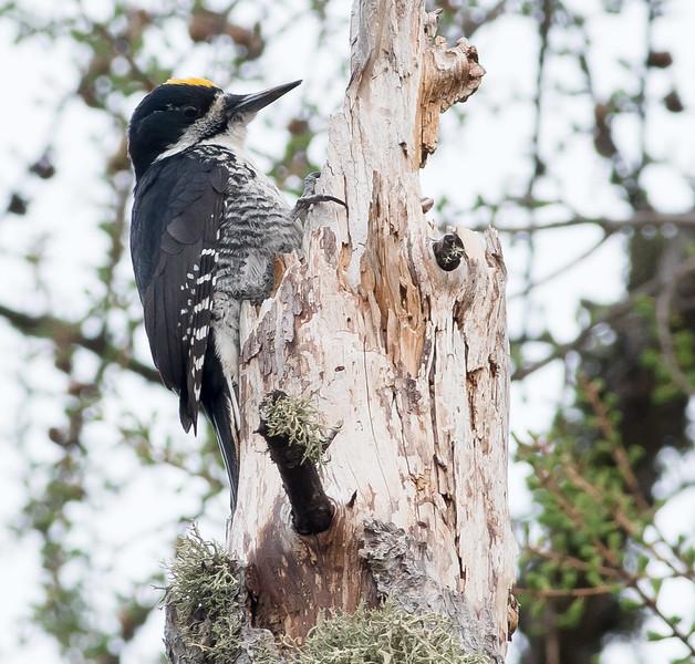 Black-backed Woodpecker Blue Spruce Road Sax-Zim Bog MN DSC07141.jpg