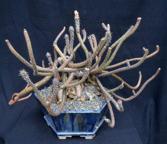 Pterocactus tuberosa