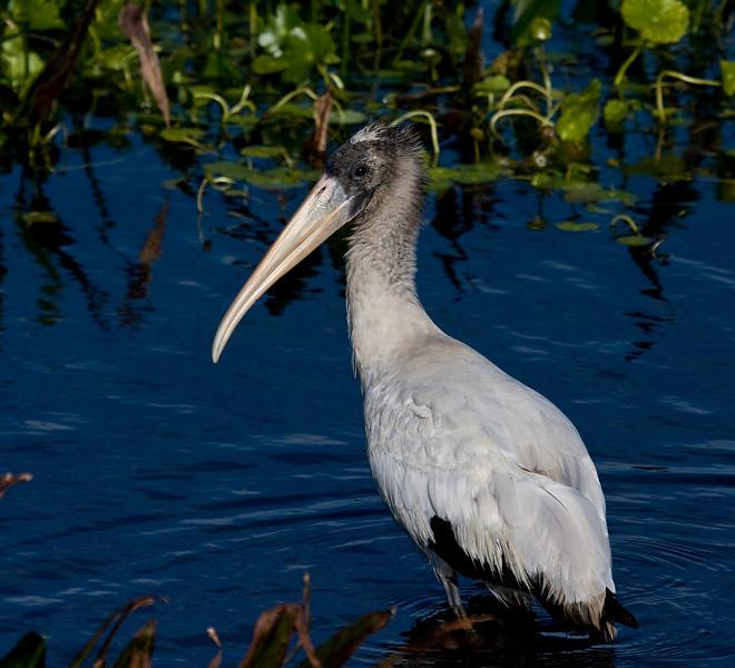 wood stork juvi
