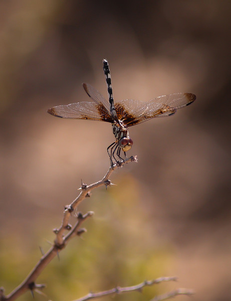 Checkered Setwing (Dythemis fugax)