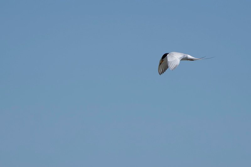 Forster's Tern at Don Edwards Refuge in SF Bay