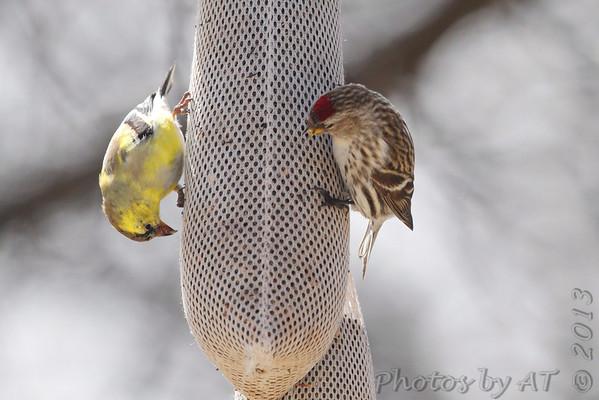 """2013 """"April"""" Yardbirds"""