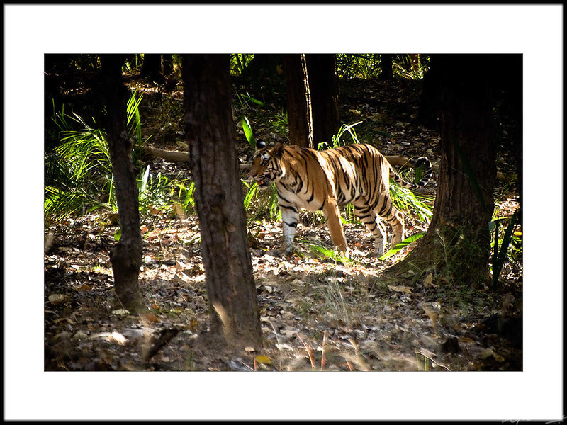 05: Bandhavgarh tiger sighting