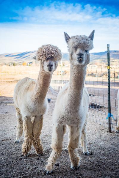 wlc Corinna Porter Alpacas356November 19, 2016.jpg