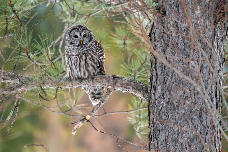 Barred Owl hunting Yellow-bellied Bog Peary Road Sax-Zim Bog MN IMG_0245.jpg