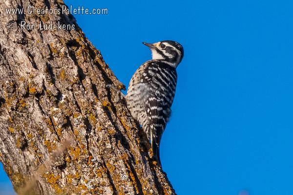 Nuttall's Woodpecker (Dryobates nuttallii)
