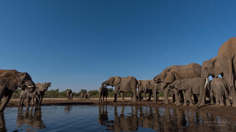 African Elephant, Mashatu GR, Botswana, May 2017-32.jpg