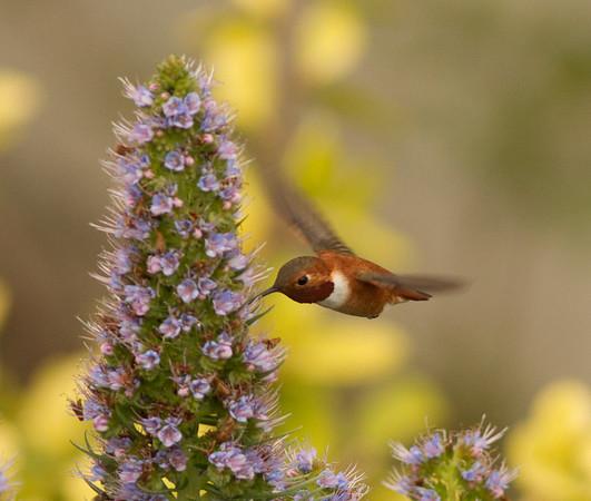 Hummingbirds (Trochilidae)