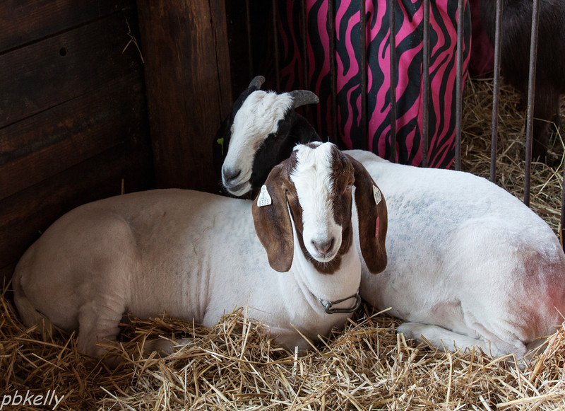 08/20.  Found these guys in the goat barn at the Lorain County Fair.