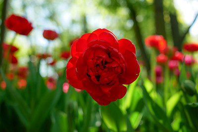 Tulips_CentralPark 2019