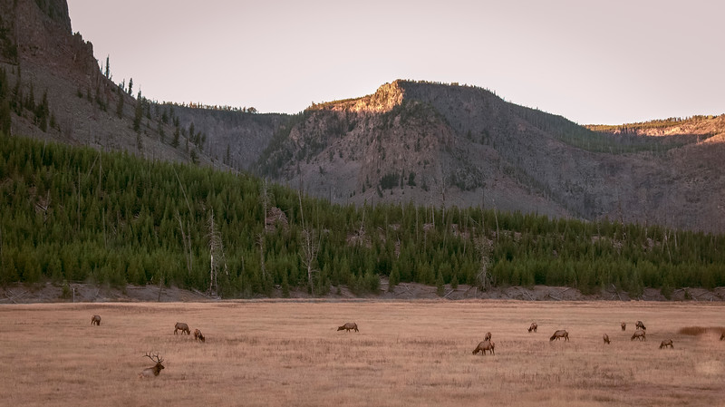 elk in field-1.JPG