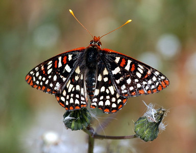 Variable (Chalcedon) Checkerspot