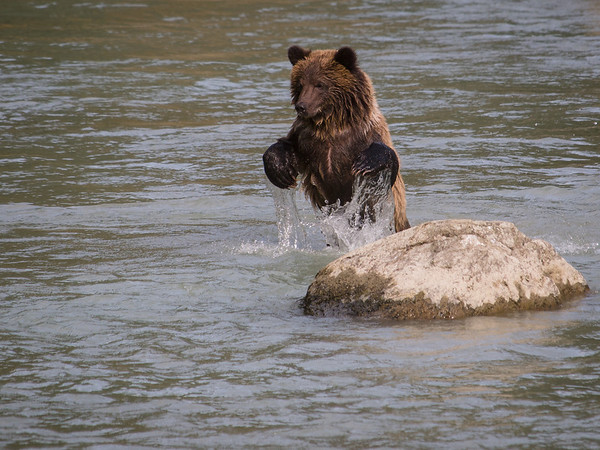 Brown Bears on the Chilkoot