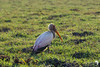 Yellow-billed Stork on the Chobe