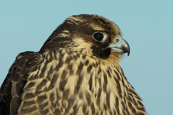 Hawks, Falcons and Raptors (US)