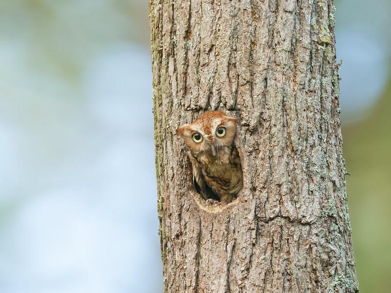 Eastern Screech Owl Red Morph in Tree Cavity Two.jpg