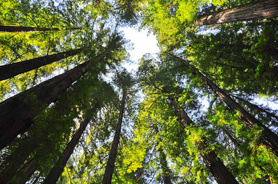 Giant Redwoods of Northern California