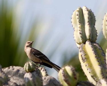 Mocking Birds, Bulbuls and Bishops