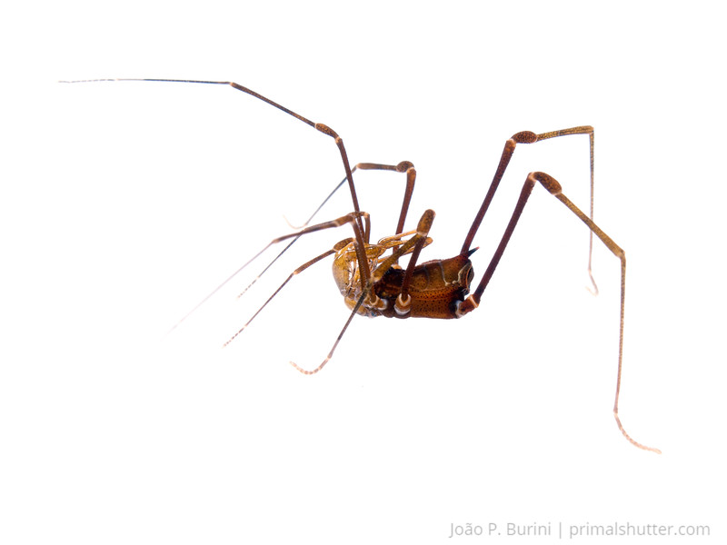 Sodreaninae harvestman Tapiraí, São Paulo, Brazil Atlantic forest (rainforest strictu sensu) August 2015