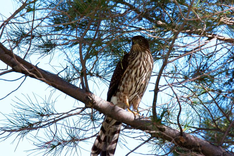 20141004_0230 NT Cooper's Hawk.jpg