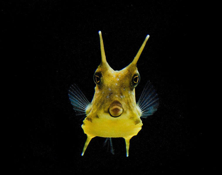 Long Horn fish.:  Adorable species
