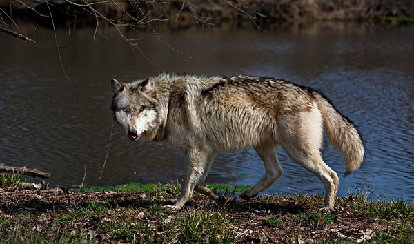 Wolves 2010