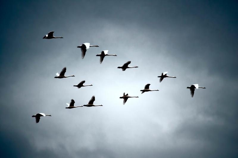 wildlife - flying v chinese swan geese(p).jpg