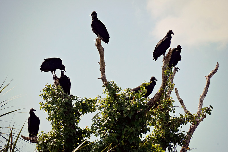 Black Vultures, Everglades FL