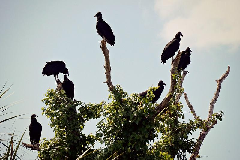 Black Vultures, Everglades FL