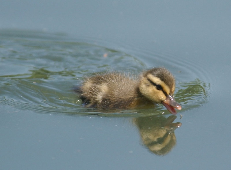 . A baby duck enjoy a swim and a drink in Denver\'s City Park on Monday. The name of the lake where this tiny duck swims? It is Duck Lake in  City Park along the south side of the Denver Zoo. (The Denver Post/Lyn Alweis)