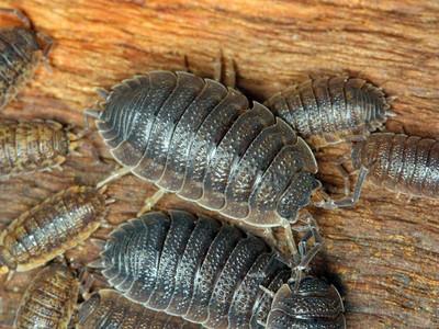 Slaters & Pill Bugs - order Isopoda