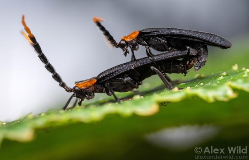 Lycidae