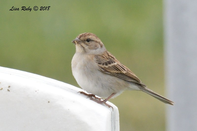 Chipping Sparrow  - 9/24/2018 - FRNC, near committal shelter