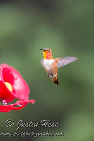 Rufous Hummingbird 07-21-2017