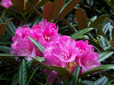 Rhododendron Gardens - April 2008