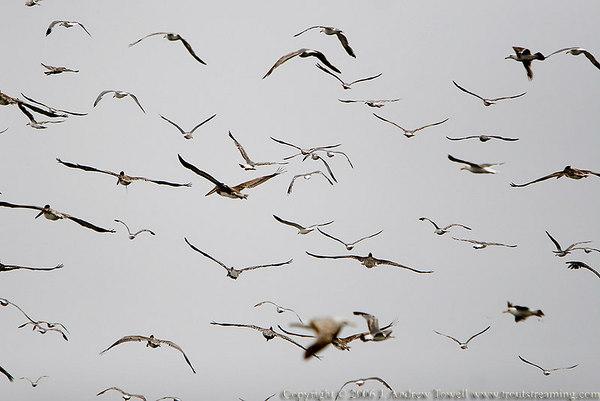 July 2006 Pelicans and Gulls Seaside Oregon Snapshot Gallery