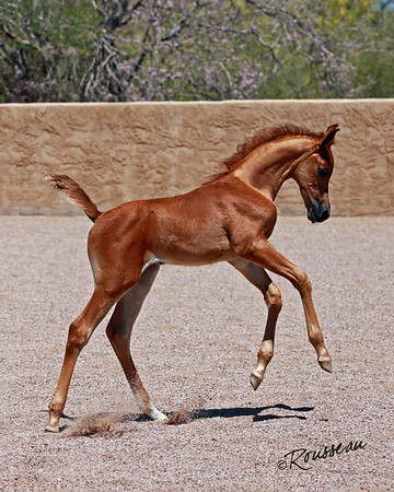 Terrill Arabians
