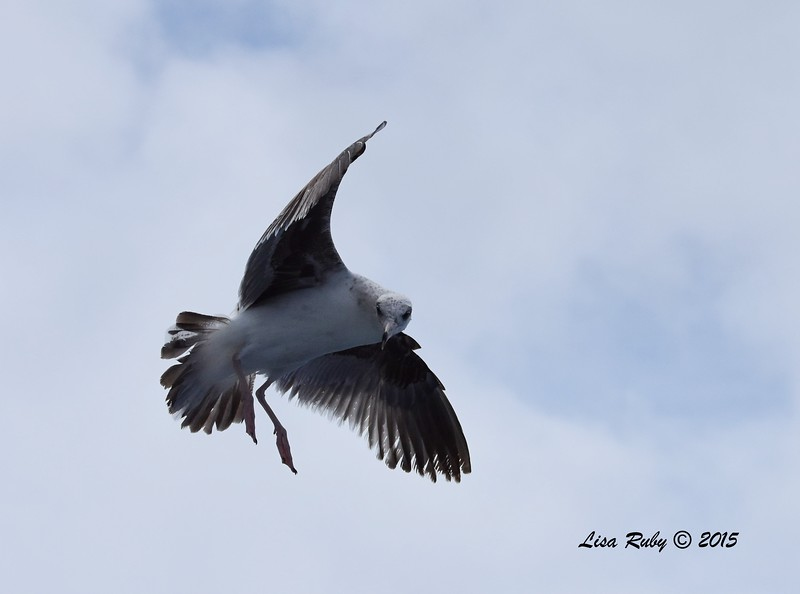 Western Gull?  - 4/25/2015 - Pelagic from Point Loma