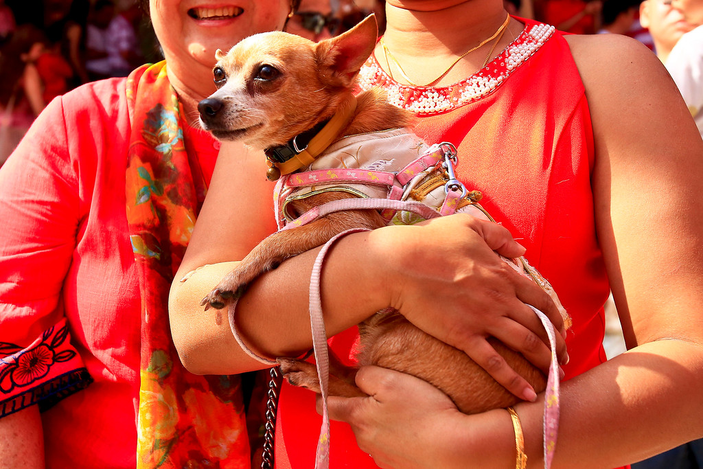 . A temple visitor brings her dog on the first day of Chinese Lunar New Year at a temple in Kuala Lumpur, Malaysia, Friday, Feb. 16, 2018. The celebration marks the Year of the Dog in the Chinese calendar. (AP Photo/Sadiq Asyraf)
