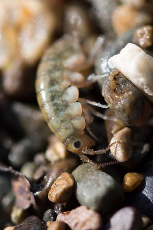 Sea Flea (Amphipoda)