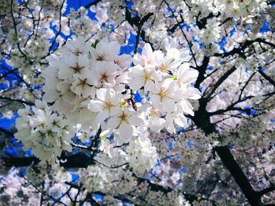 University of Washington Cherry Blossoms - March