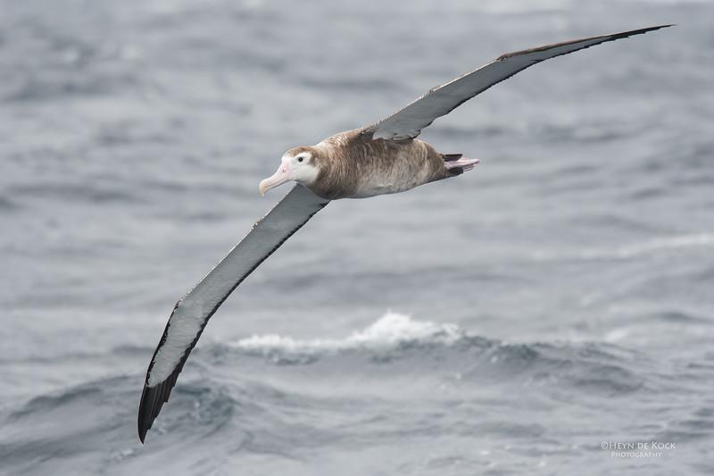 Wandering Albatross, Eaglehawk Neck Pelagic, TAS, Sept 2016-1.jpg